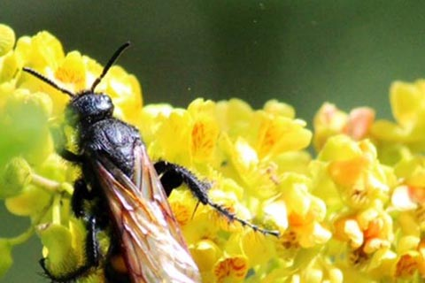 Pollination of a tannin tree flower by a wasp, the flowers attract also bees<br />Picture Anne Everett