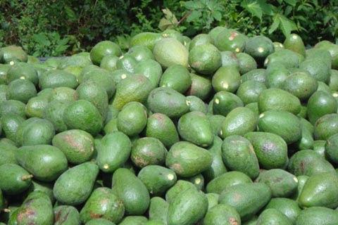 Green avocado, one among the 15 avocado varieties cultivated at the farm