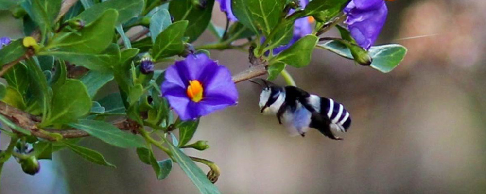 Panda Bee hummingbird